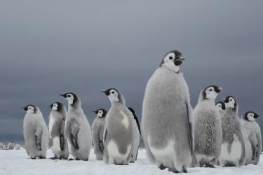Keisaripingviinin poikasia seisomassa jäätiköllä