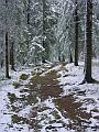 Näkymä kuusten reunustamasta metsäpolusta, jonka kevyt ensilumi on paikoin peittänyt