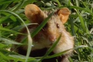Hamsteri kurkistaa ruohikon keskeltä
