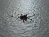 Hämähäkki seinällä, oikealta kyljeltään kuvattuna