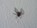 Hämähäkki seinällä, suoraan selkäänsä vasten kuvattuna