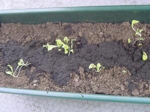 Kitukasvuinen lehtisalaatti