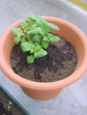 Ruukussa kasvava perunankaali