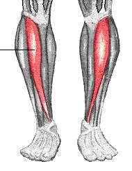Tibialis anterior