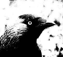 Naakka (mustavalkoinen, puhkipoltettu kuva)