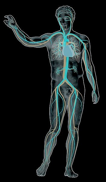 Ihmisen verenkiertoelimistö kaaviokuvassa (negatiivi)