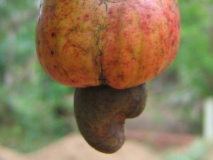 Cashew-hedelmä pähkinöineen