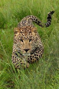 Leopardi hyökkää