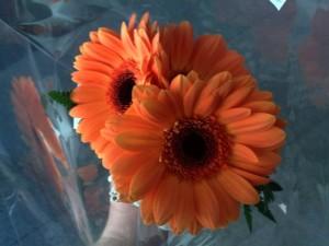 Kolme oranssia gerberaa