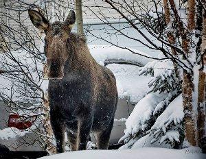 Hirvi lumen keskellä, turpa katsojaan päin
