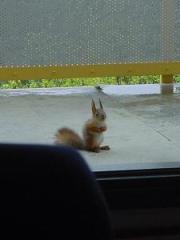 Orava katselee sisään parvekkeelta